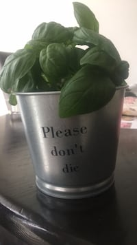 Basil plant and pot  Vaughan, L4H 0T6