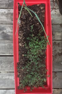 Thyme plants in self-watering planter