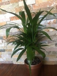 Nice and healthy air purifying house plant in the new pot Aurora, 80012