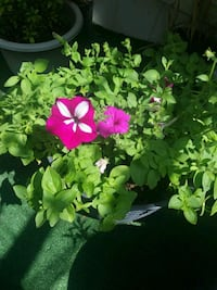 green and pink petaled flowers La Puente, 91744
