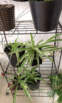 Spider plants $5 each!