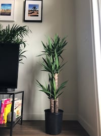 Gorgeous yucca real indoor plant  Portland, 97206