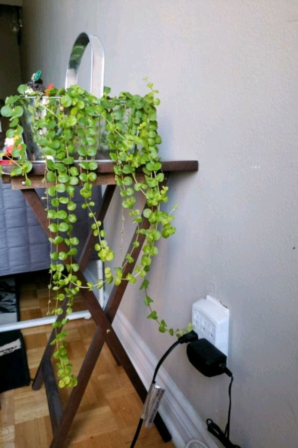 Healthy vine plant for sale