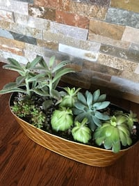 Cute and healthy succulents in the gold big pot Aurora, 80012