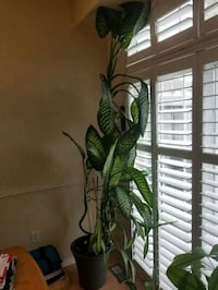 Tall plant 10 ft and growing 564 km