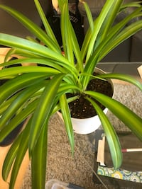 Healthy green spider plants Calgary, T2E 5Z6