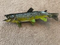 Brown Trout Taxidermy one sided skin mount 20.5 inches   Great Falls, 59405