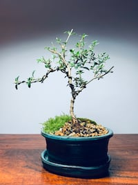 Bonsai Seeissa Foetida