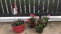 Strawberry  and flower plant potted