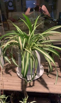 Large Variegated Spider Plant Norman, 73071