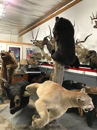 Taxidermy 3 animal action diorama of bears and cougar Las Vegas, 89117