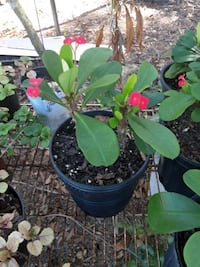 Red crown of thorns  New Port Richey, 34654