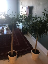 Two indoor plant trees with plant pots 547 km
