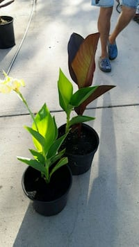 Canna Lilly (red _yello) Myrtle Beach, 29588
