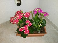 pink and purple potted kalanchoe flower El Paso, 79904