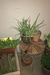 Aloe Plants, succulent plants house plants.. Gilbert, 85296