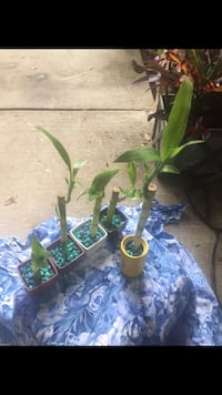Bamboo plants each 2$