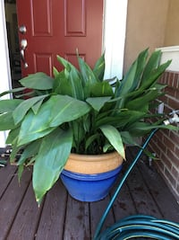 "Lush green real plant in a beautiful large 20"" ceramic pot.  Total height is about 3'.  Excellent condition! San Marcos, 92069"