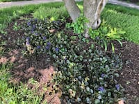 Ajuga (purple-flowering perennial)