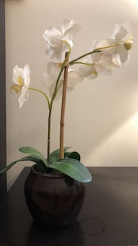 White moth orchids decorations  20 mi
