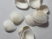 Shells - White Conch Small - Floral Supplies  San Diego