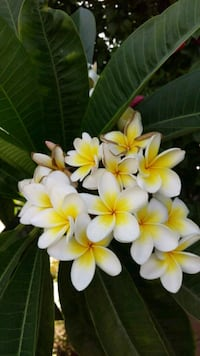 Plumeria plants Whittier, 90604