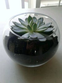 Real succulent plant in fish bowl type glass vase