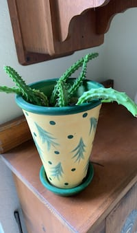Red dragon cactus Plant in cute yellow and green pot