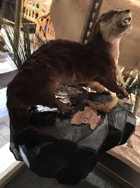 Taxidermy Otter climbing on big black wet rock habitat,, Las Vegas, 89117