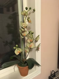 green and brown moth orchid