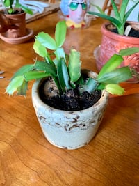 Cute Christmas Cactus plant Norman, 73071