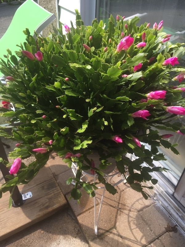 Christmas Cactus.Christmas Cactus Award Winning Constantly Blooming Summer Winter Blooms Brilliant Purple Blooms Large