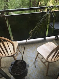 Plant and chairs
