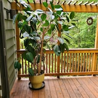 9 foot tall rubber tree McLean, 22101