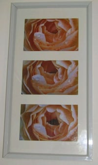 Peach Rose framed photograpgy London