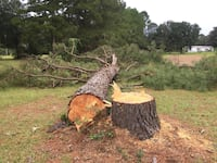 2-Free very large Pine Trees C/P Loxley, 36551