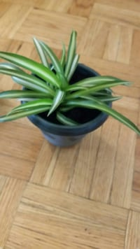 Baby spider plants   $2 - $3 each