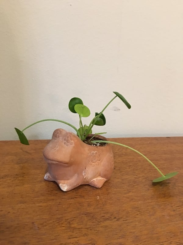 Terra-cotta frog planter filled with Chinese money plant  1