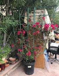 black and red flower plant Las Vegas, 89117