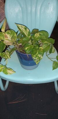 Pothos Ivy in blue pot Norman, 73071