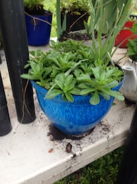 green leaf plant in blue pot Springfield, 65803