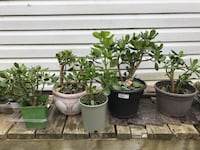 Jade bonsai tress for sale from $10...free spider plant  Mississauga, L5M 1C7