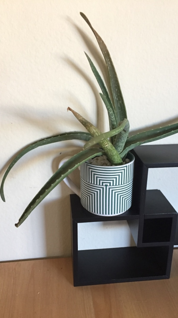 Used Aloe Vera Plant With White And Green Ceramic Plant Pot For Sale