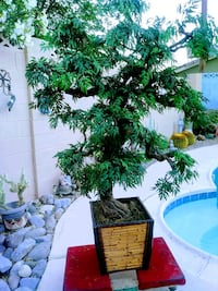 Bonsai tree Las Vegas, 89102