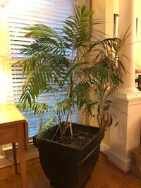 """5' tall tropical plant with 18""""x18"""" black planter Gaithersburg, 20882"""