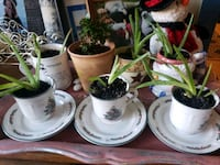 Aloe plants in Christmas mugs