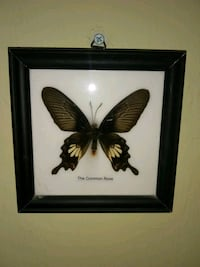 Real Butterfly Picture Beautiful! Swallow Tail Lehigh Acres, 33976