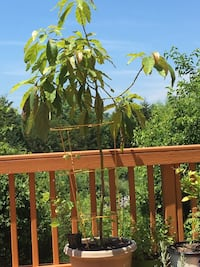 Avocado plant,4 years old !!! more than 5feet tall inches thicker!! Chantilly, 20152