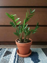 ZZ Plant In 6 inch Terracotta Pot Mississauga, L5N 2B5