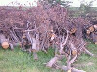 FREE FIREWOOD, YOU CUT, LOAD, HAUL, 2 TREES Alleman